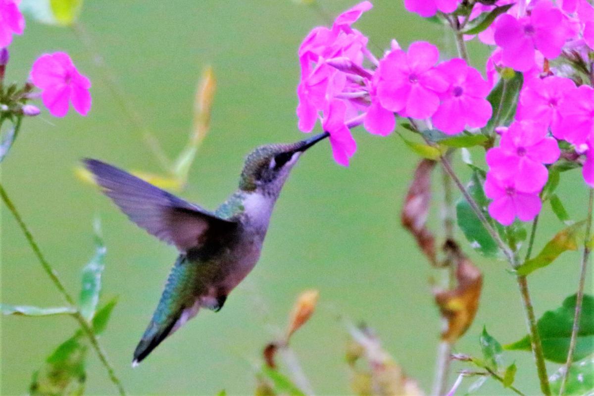 20210813-MAG-schmidt hummingbird1