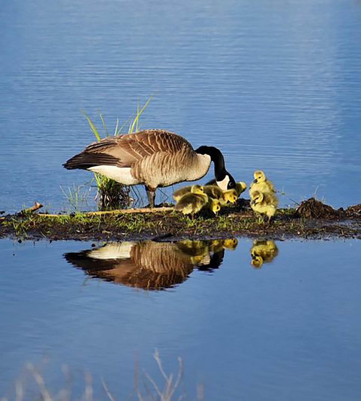 20210518-MAG-Goose and goslings