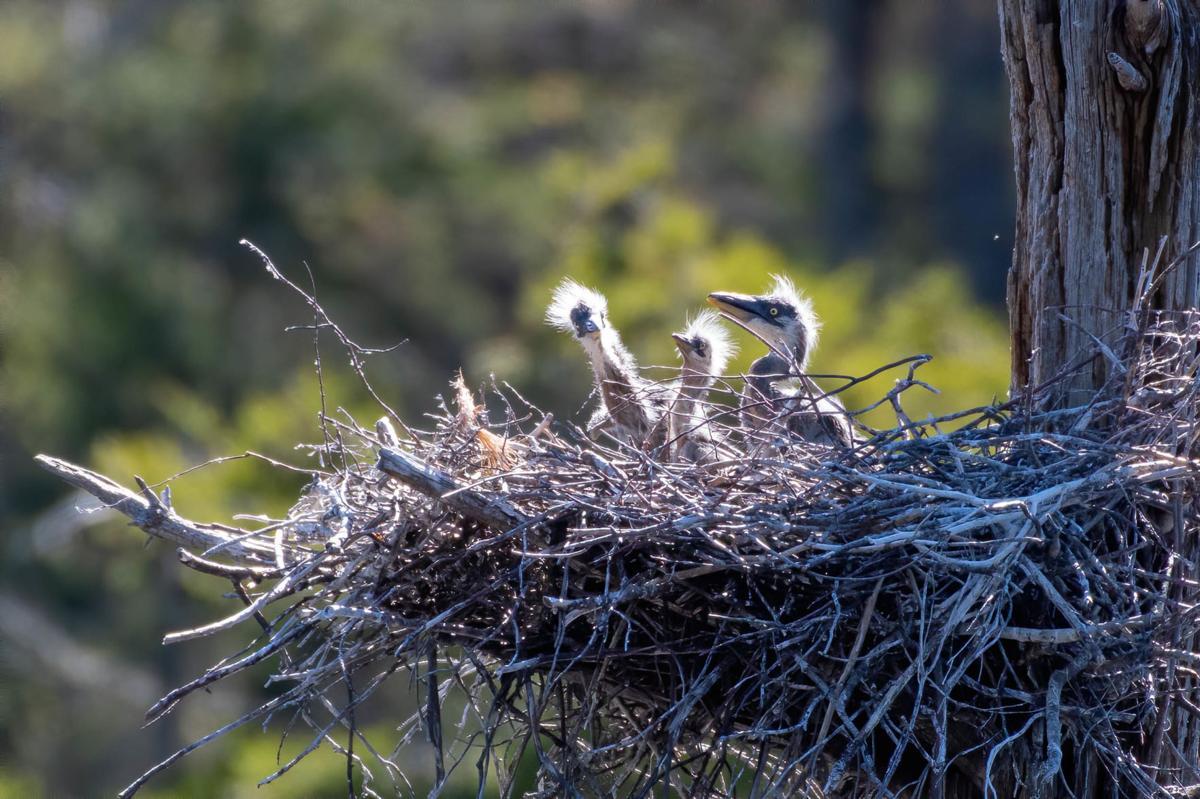20200602-MAG-batchelder herons