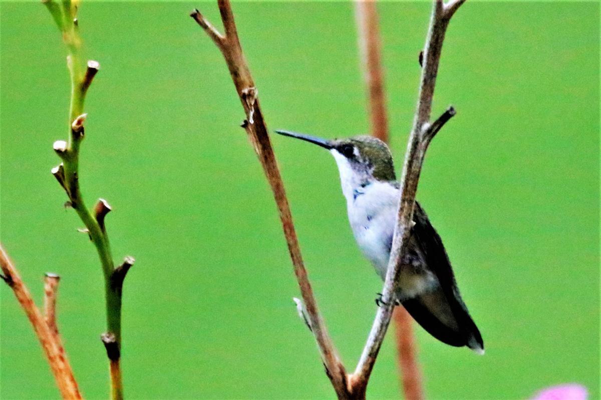 20210813-MAG-schmidt hummingbird2