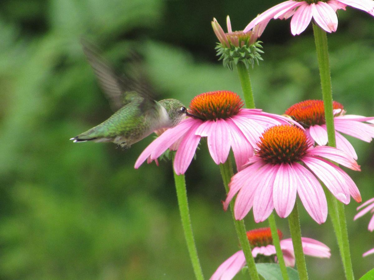 20200731-MAG-bentley hummingbird