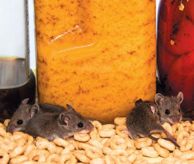Got A Mouse In Your House Nest Sentinelsourcecom