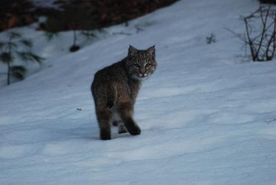 Bobcat hunt called off