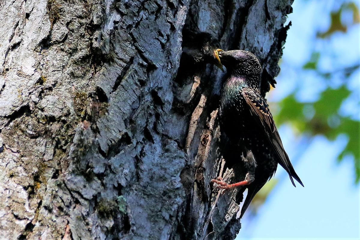 20210528-MAG-schmidt starlings1