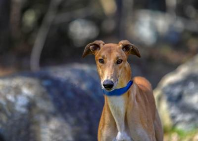 Greyhound of the Week: Tane