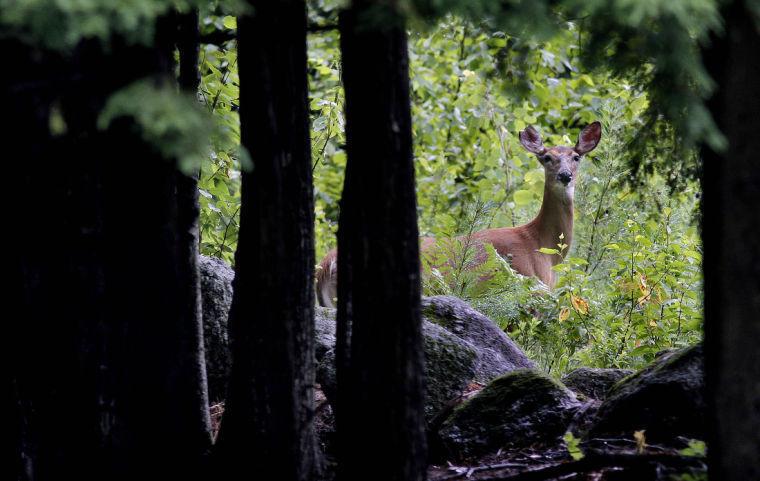 A deer peers