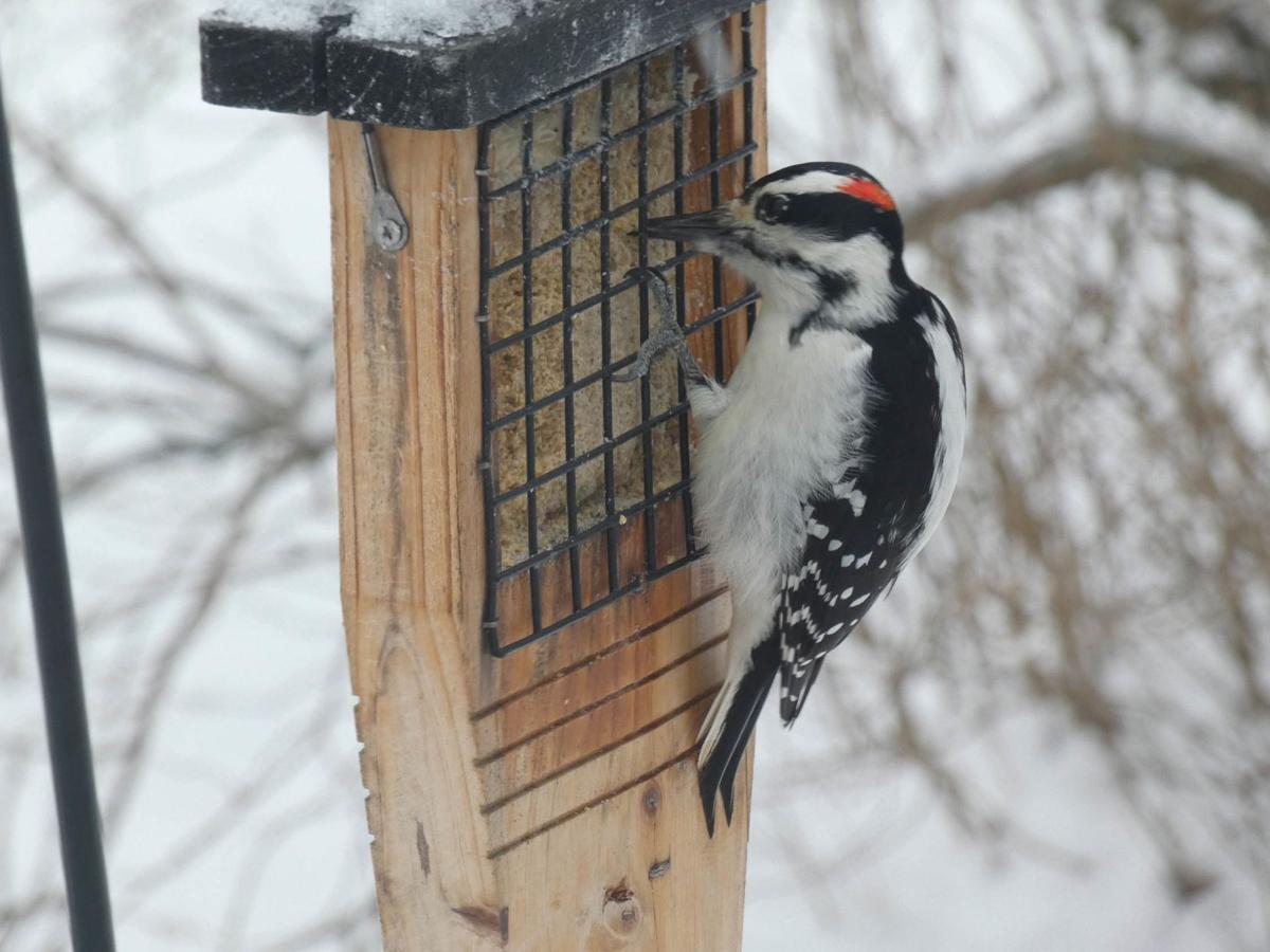 20201216-MAG-bisaccio woodpecker