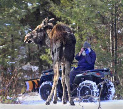 Stoddard moose
