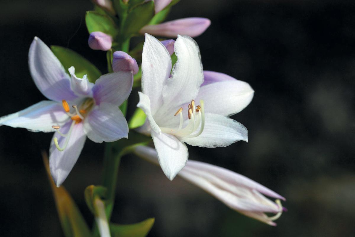 Shade Loving Perennials Nest Sentinelsource