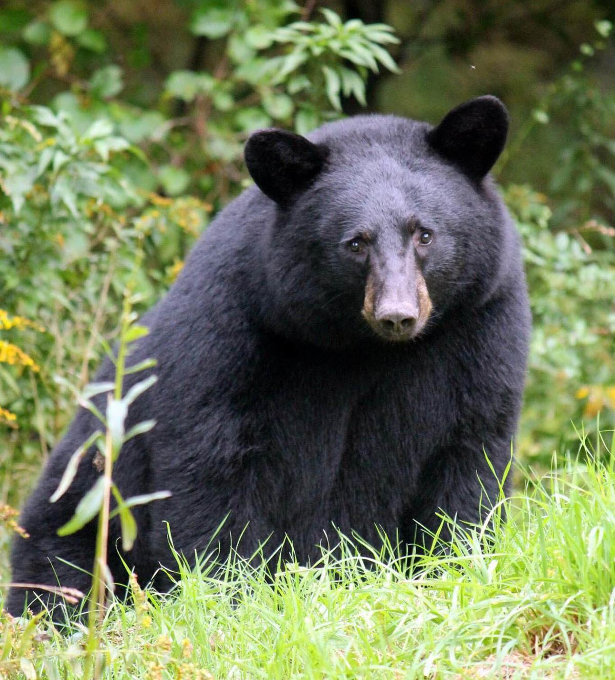 Camera-ready bear