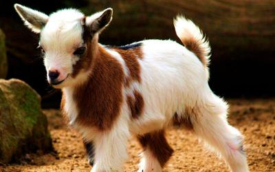 Getting Your Goat!