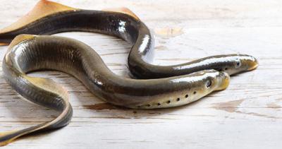 Sea Lampreys Vampires Of The Deep Animal News Sentinelsource Com