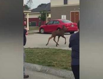 Baby moose in search of mom