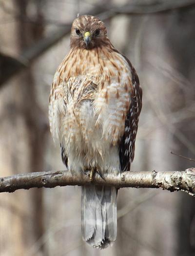 20210405-RNR-bosak red shouldered hawk
