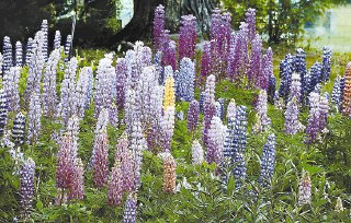 Growing lupines from seed is easy
