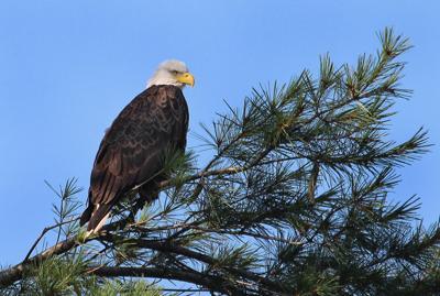 Bosak: Bald eagle