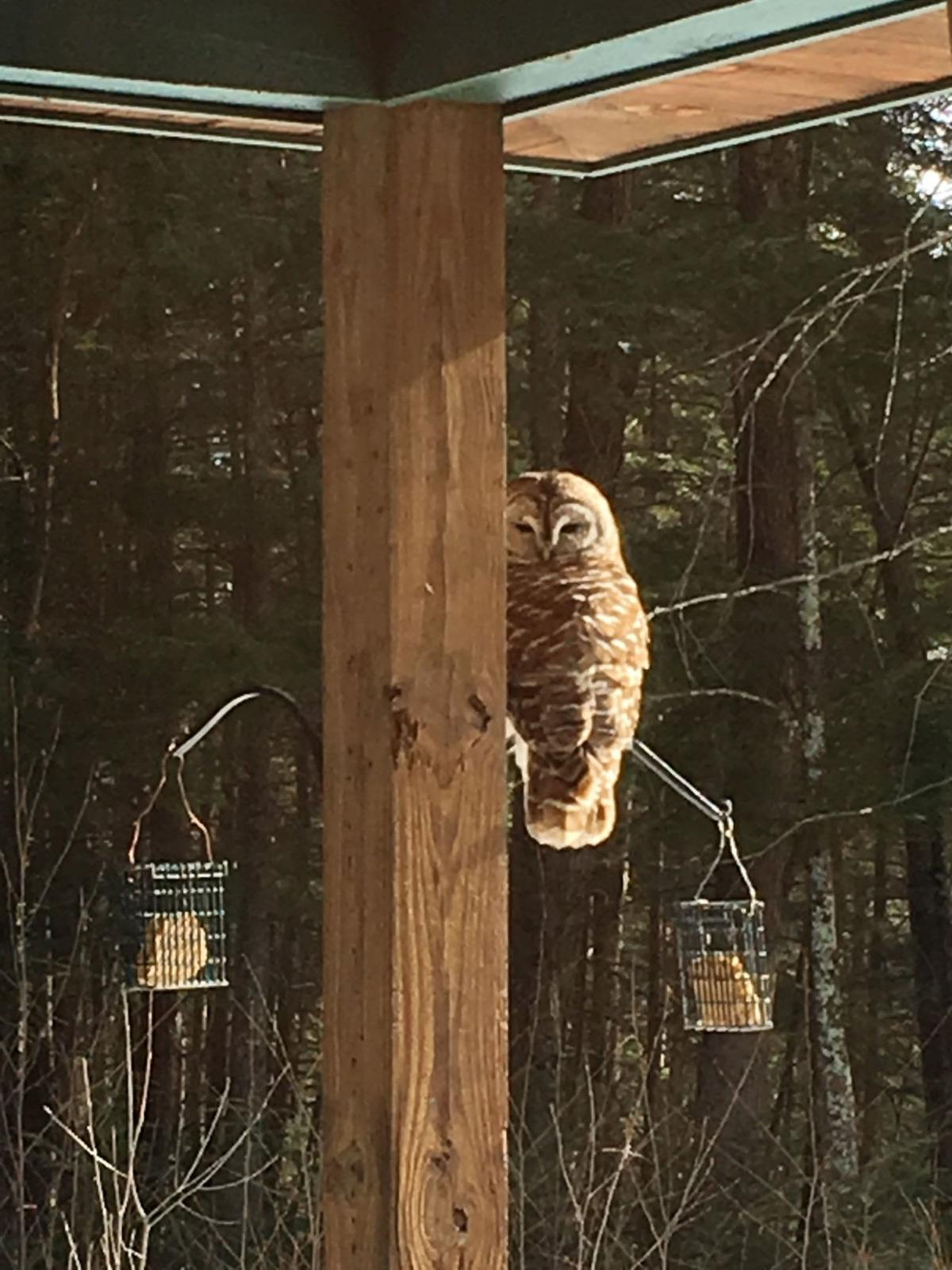Owl on the porch
