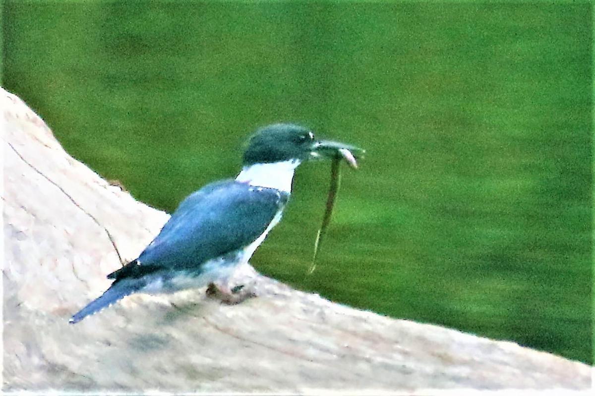 20210831-MAG-schmidt kingfisher1