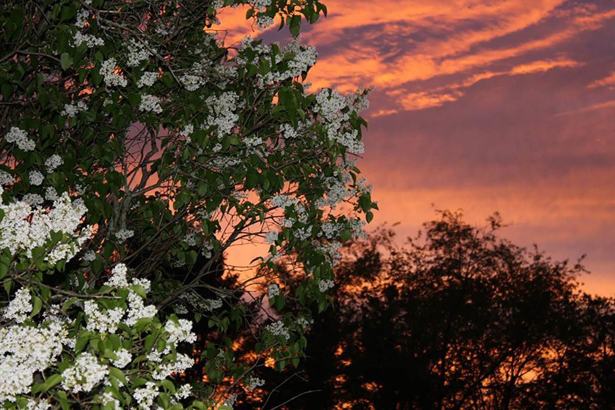 Lilacs at sunset