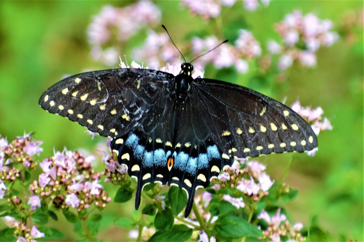 20210723-MAG-schmidt butterfly