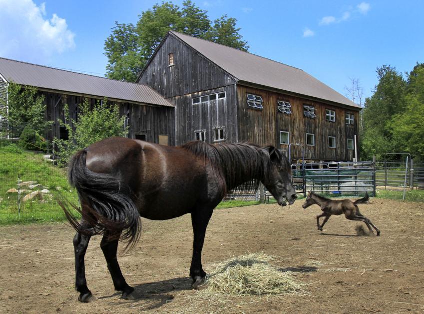 Newfoundland pony kicks up excitement in Jaffrey