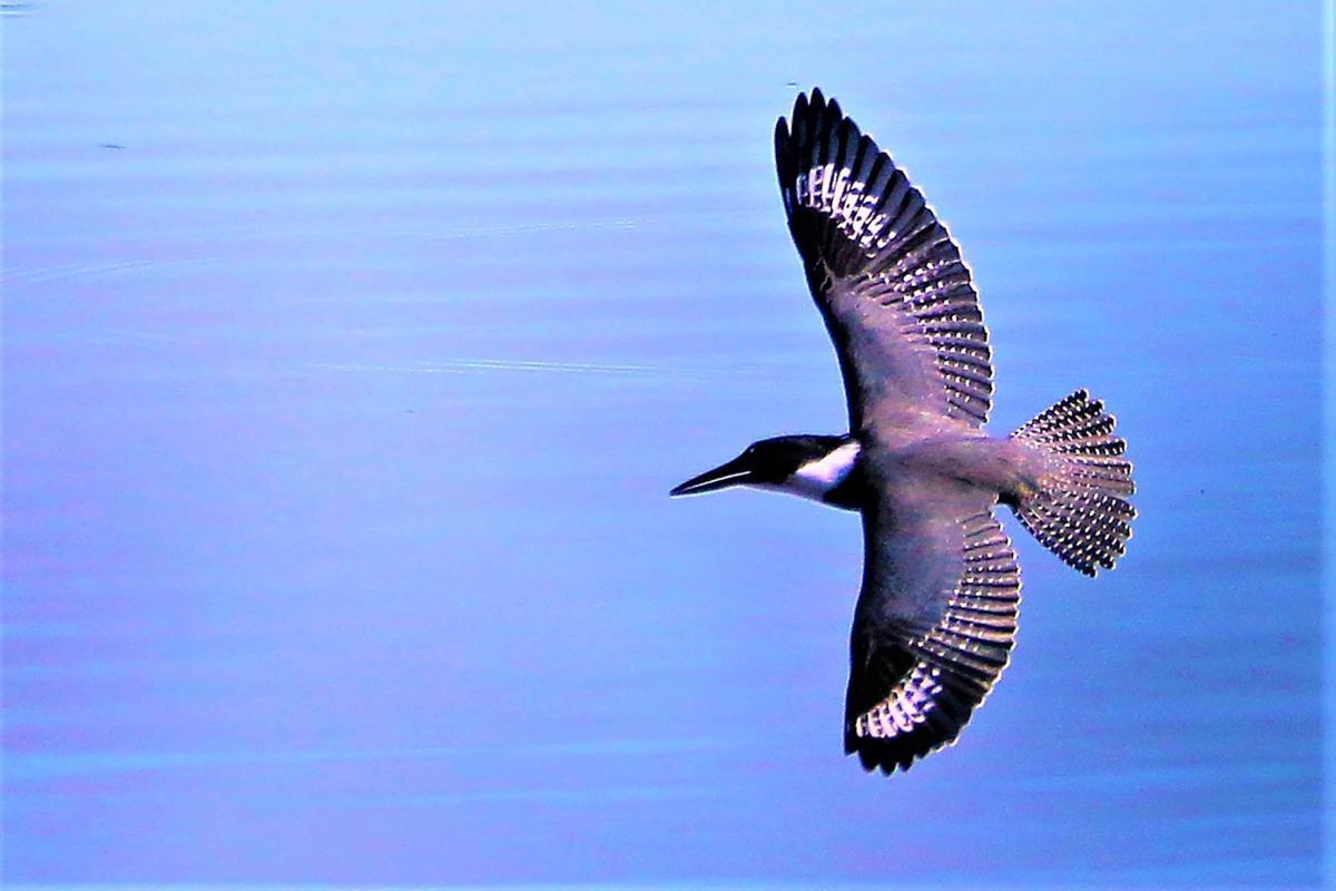 20210831-MAG-schmidt kingfisher2