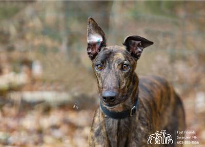 Greyhound of the Week: Winston