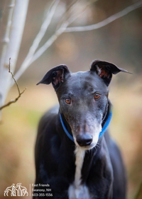 Greyhound of the Week: Gage