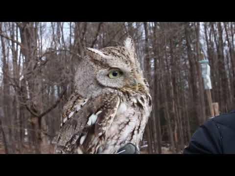 Eastern Screech Owl in Recovery