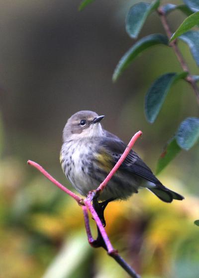 20211004-RNR-bosak yr warbler
