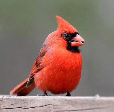 20210315-RNR-bosak cardinal2