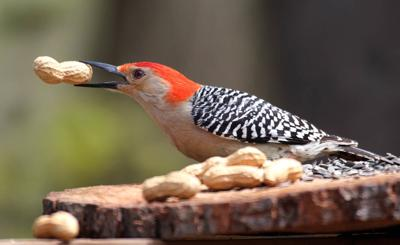 20210322-RNR-bosak rbwoodpecker with nut