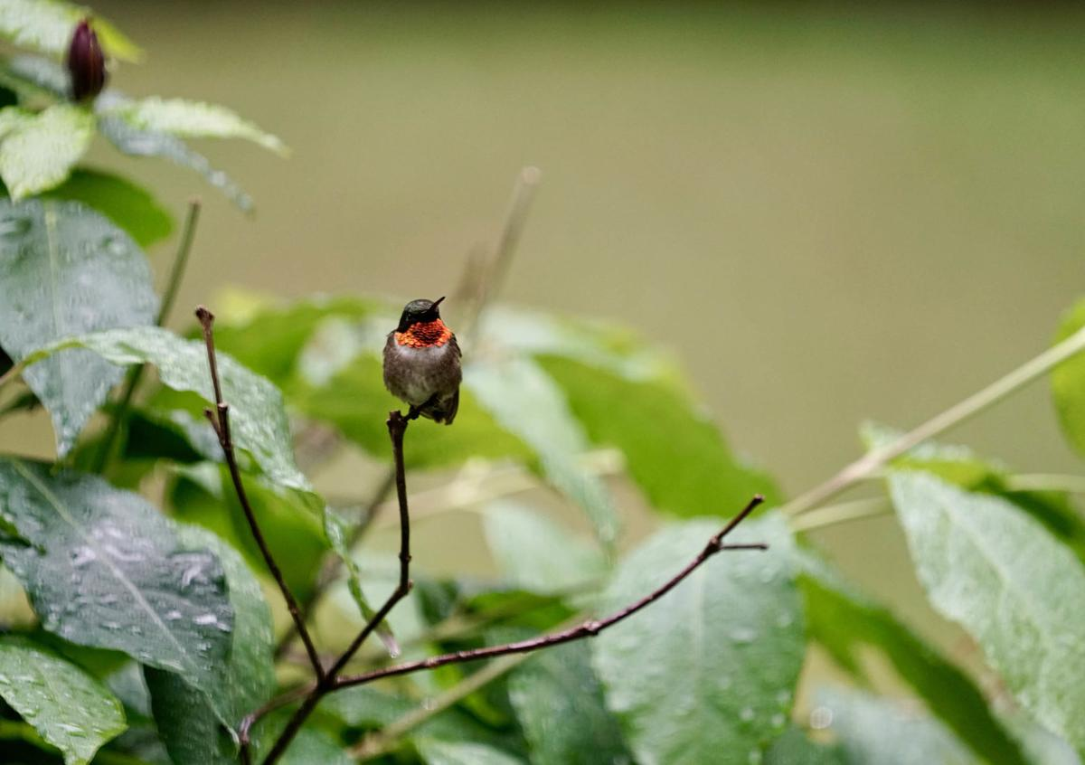 20200721-MAG-osmond hummingbird