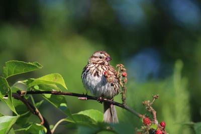20210823-RNR-bosak song sparrow berry