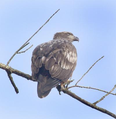 Baby bald eagle.