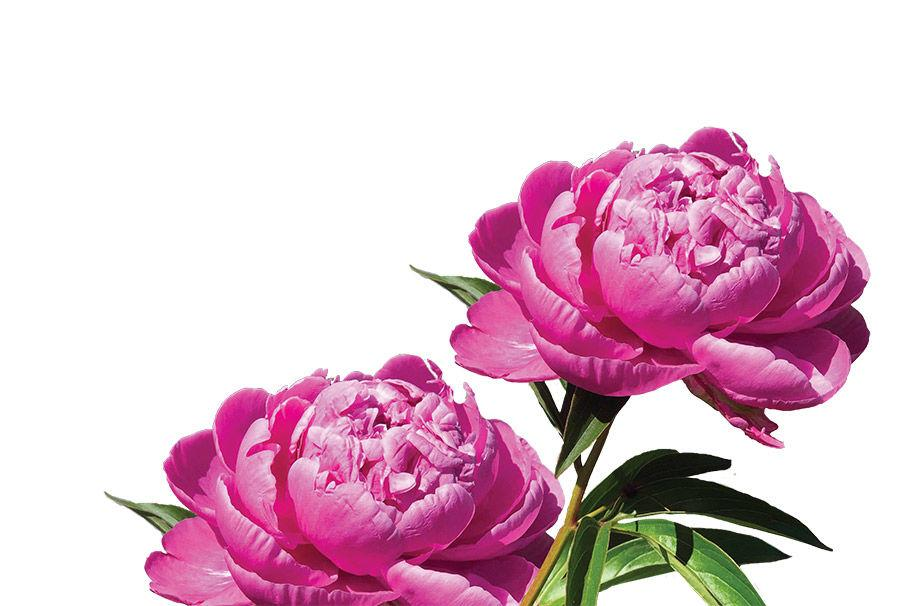 Peonies Are Poppin Intreped Gardner Sentinelsource Com