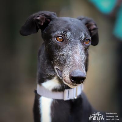 Greyhound of the Week: Kali