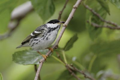 The amazing flight of the Blackpoll Warbler