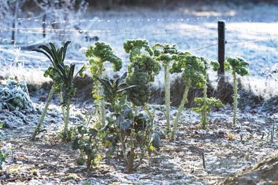 Frozen Kale In Vegetable Garden In Countryside.