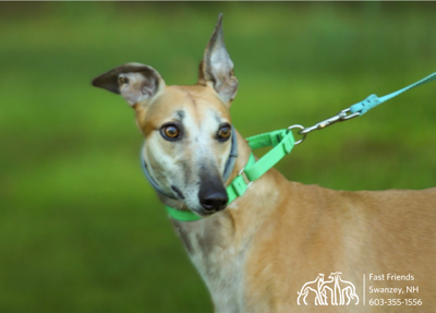 Greyhound of the Week: Lilo