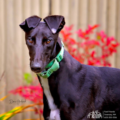 Greyhound of the Week: Gina