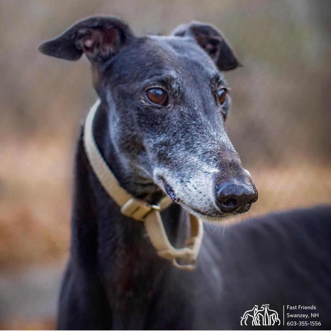 Greyhound of the Week: Griffin