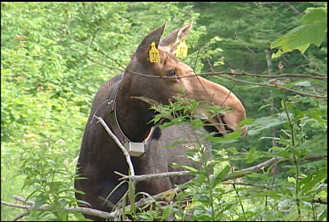 Tagged moose