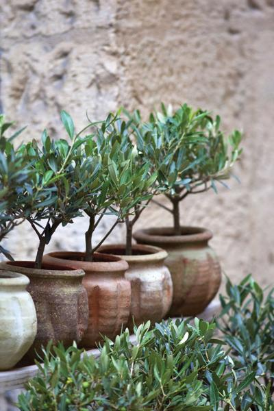 Ode to the Olive Tree