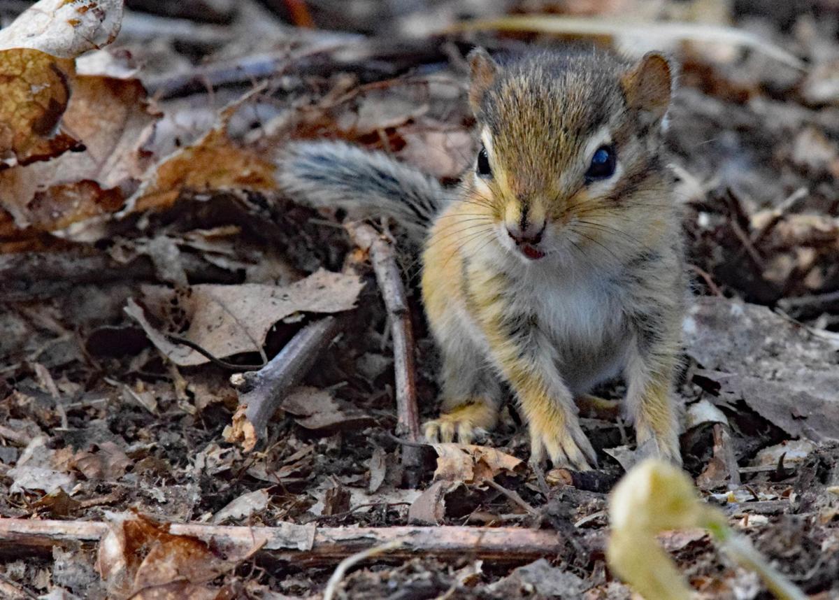 Leaves Region Chock Full Of Chipmunks