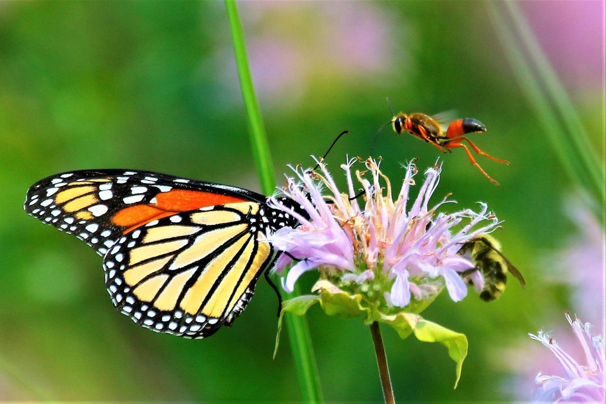 20210813-MAG-schmidt monarch butterfly