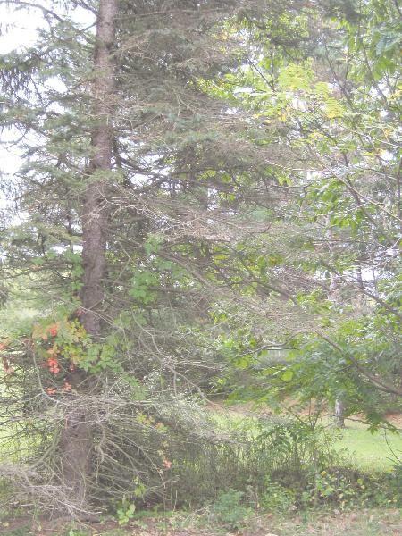 Blue Spruce demise