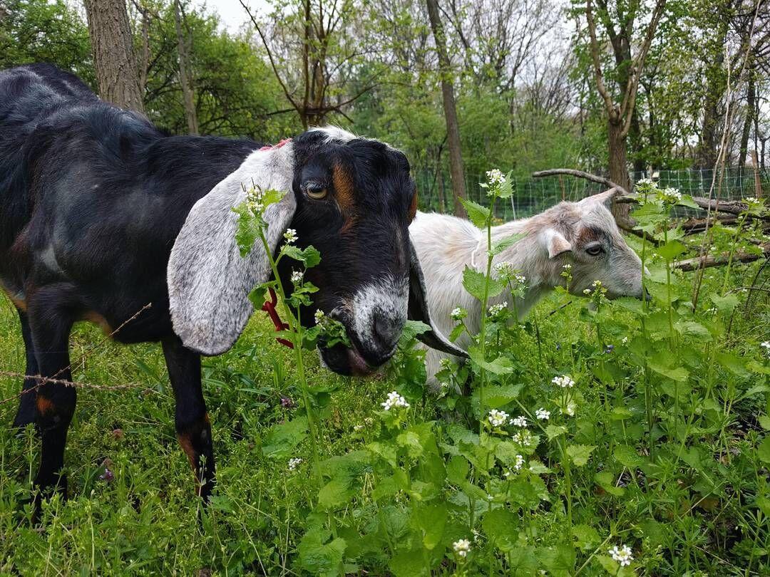 goats eating wild garlic mustard THIS .jpg
