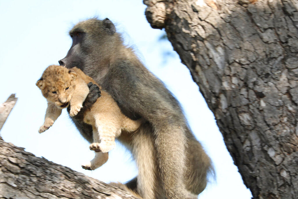 South Africa Baboon Lion Cub