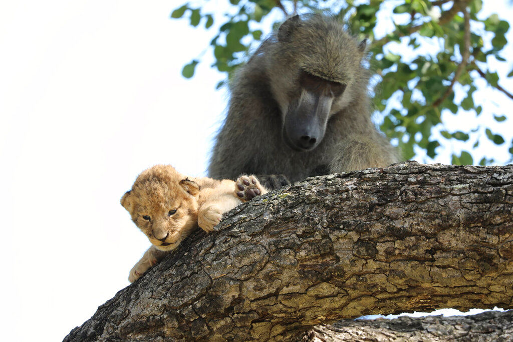 South Africa Baboon Lion Cub2